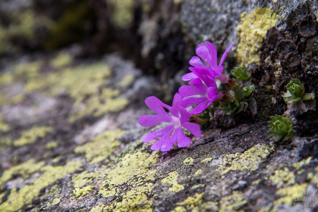 Veľká Studená dolina - jarní květy