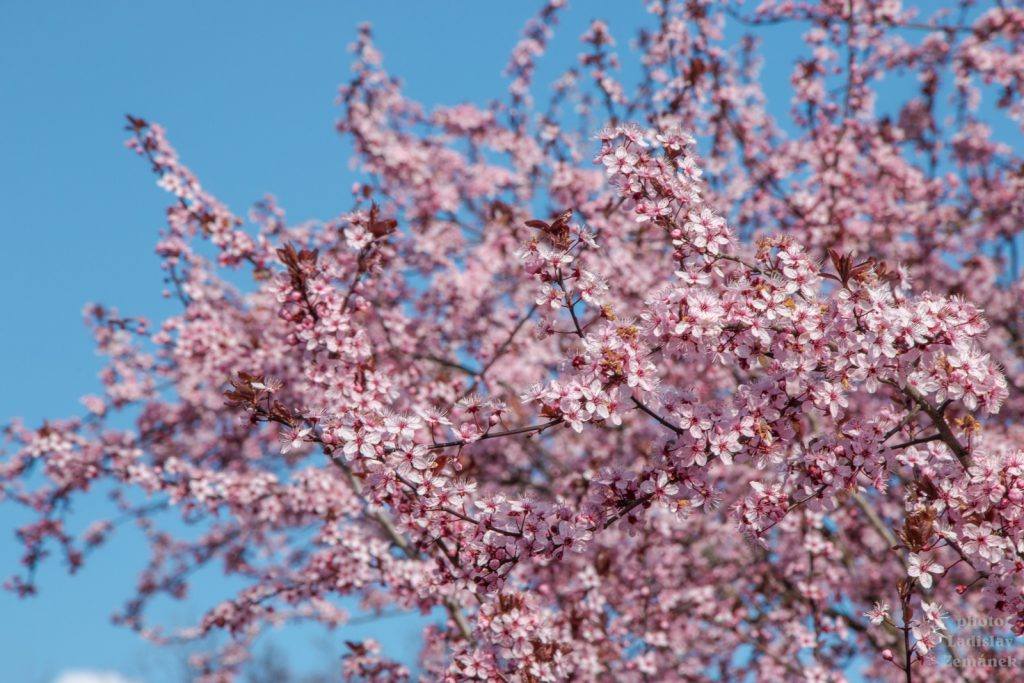 Kvetoucí sakury
