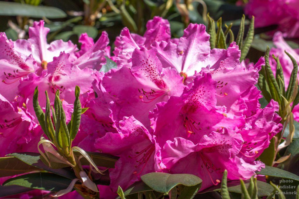 Pražský hrad - rododendron