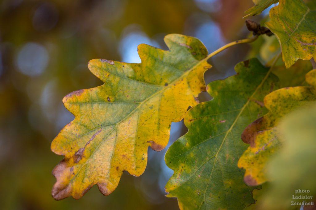 podzim - list