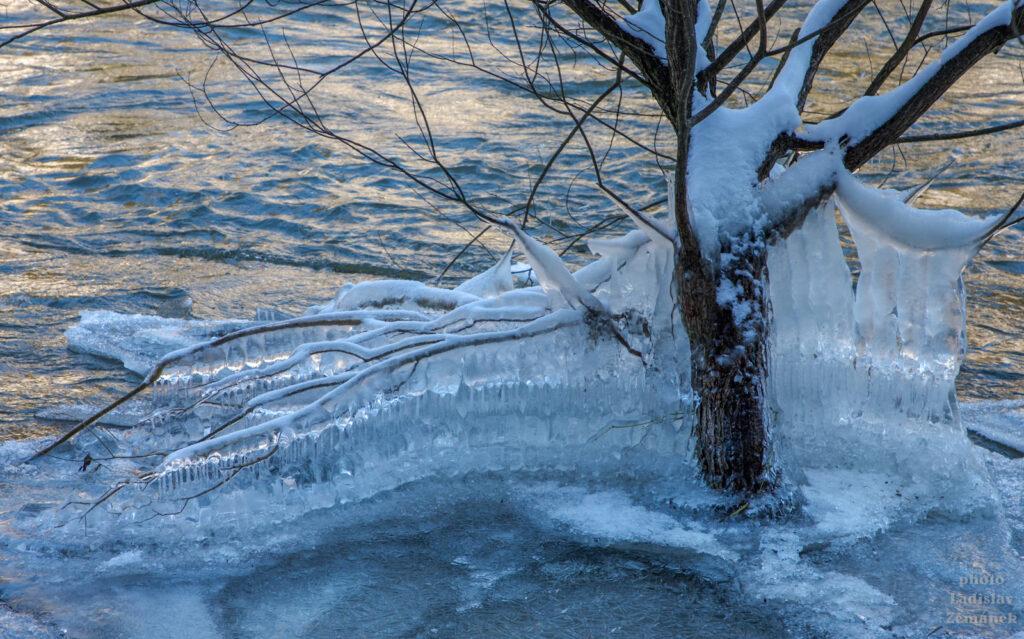 Zamrzlý strom na břehu Sázavy