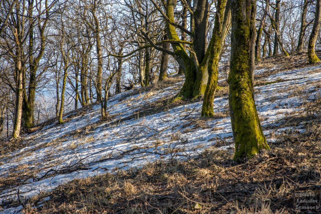 Les se sněhem na Sedle