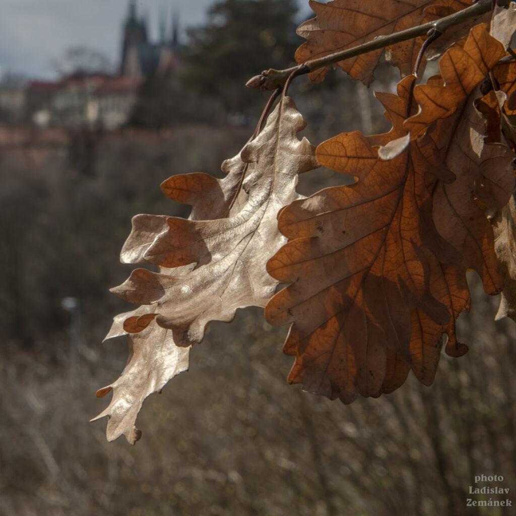 list dubu na jarním slunci