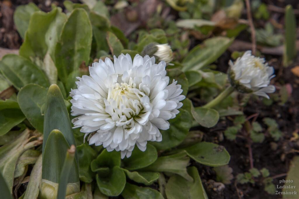 jarní květy na Letné