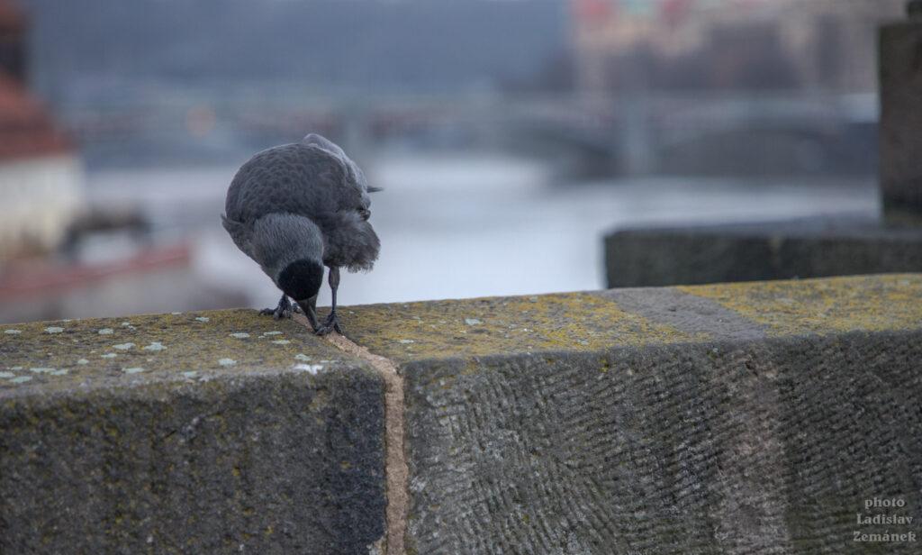 Kavka na Karlově mostě