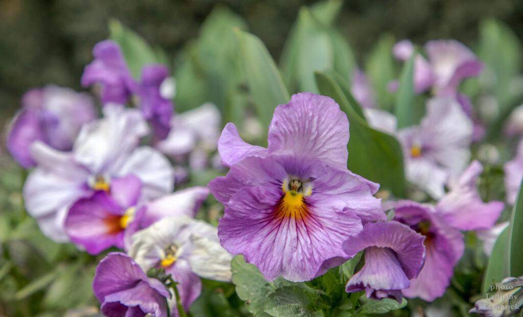 Královská zahrada - květy