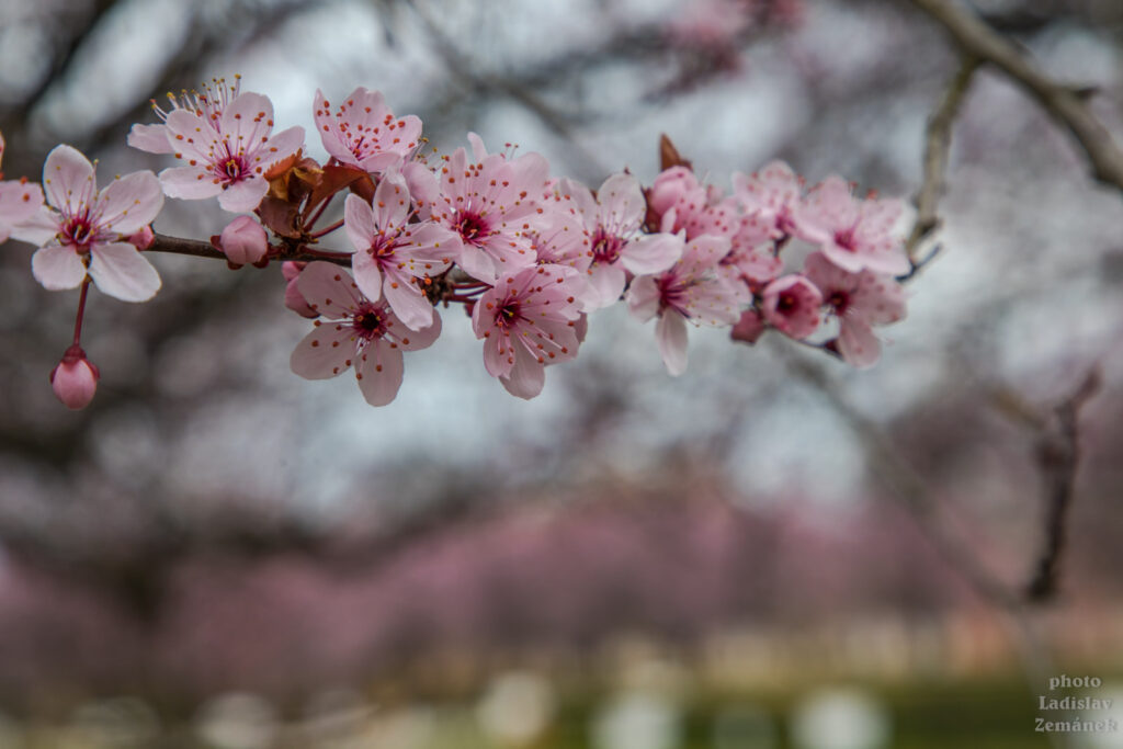 Zahrady Trojského zámku a květy sakury