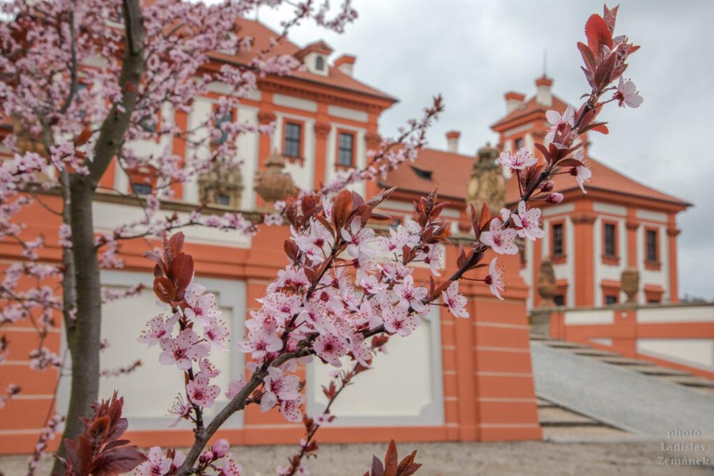 Trojský zámek a květy sakury
