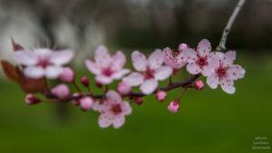 Zahrady Trojského zámku - kdy kvete sakura?