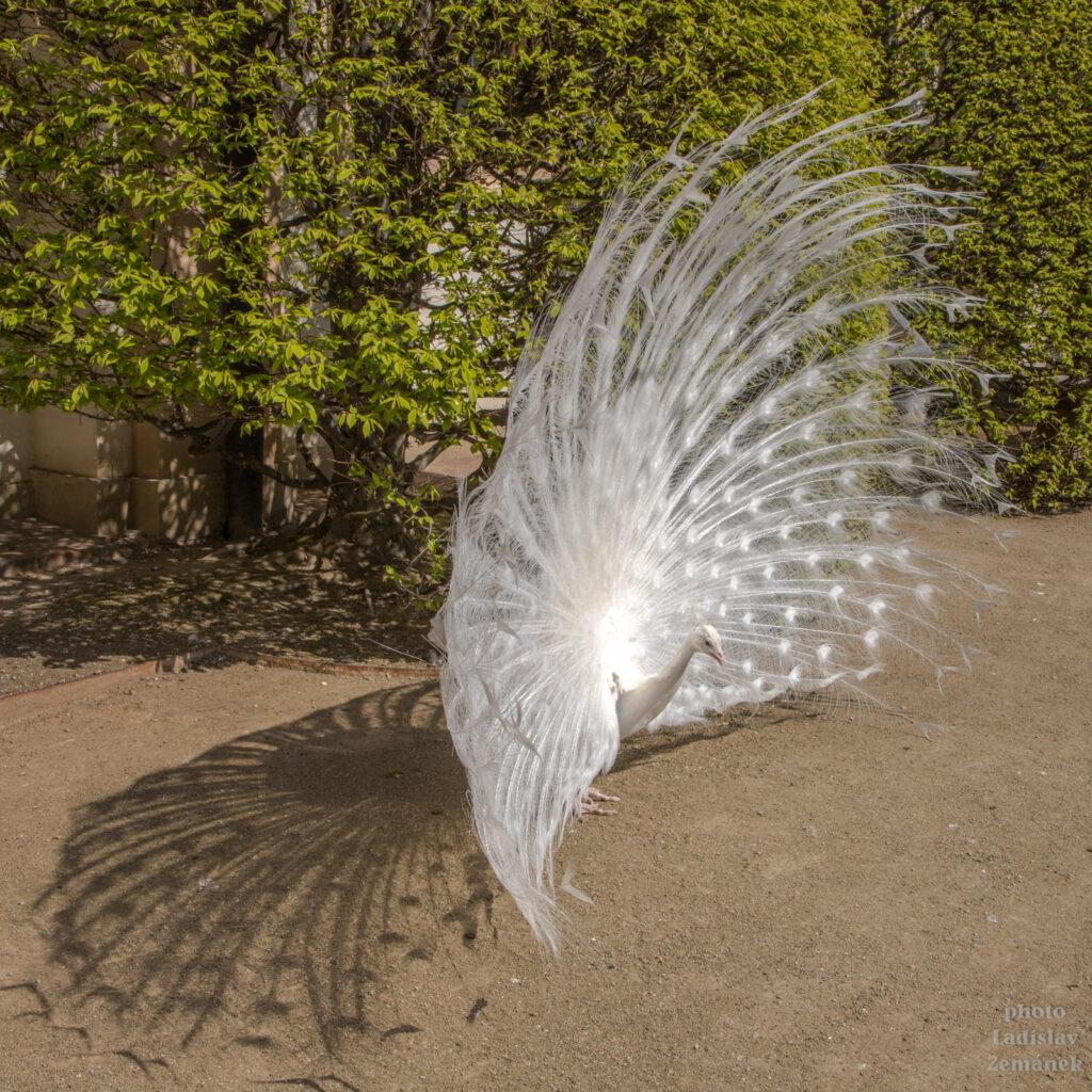 Valdštejnská zahrada - páv bílý