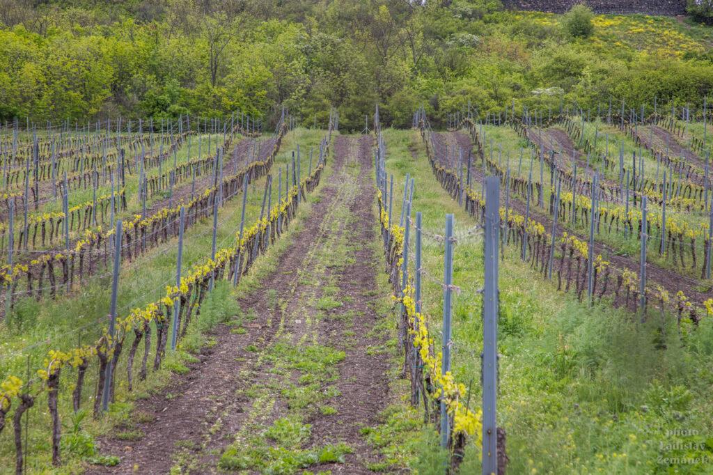 vinice pod hradem Hazmburk