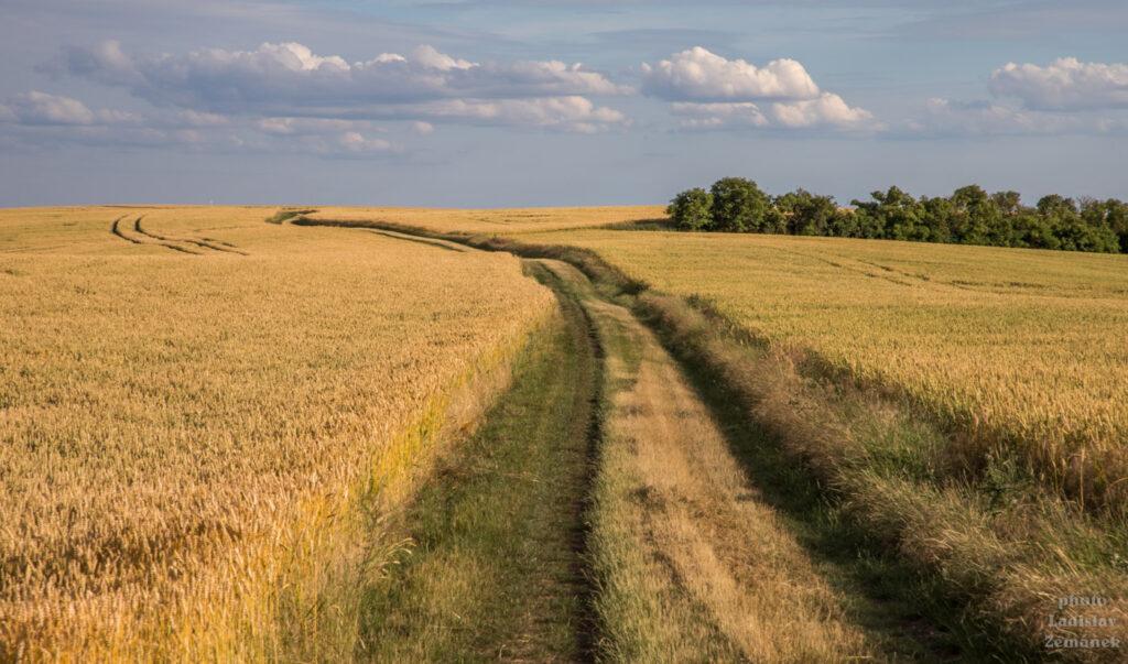 Cesta v obilí