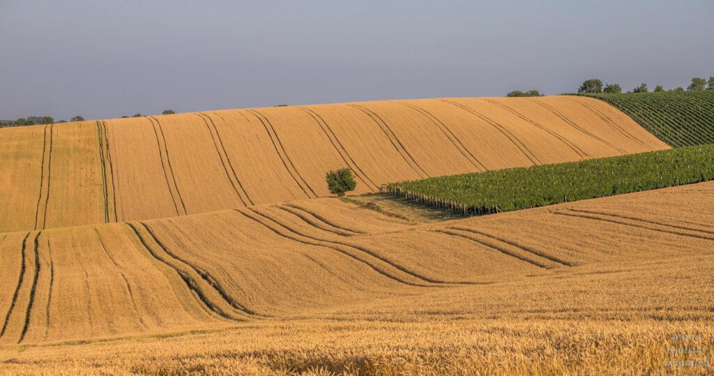 Zvlněné pole v Moravském Toskánsku