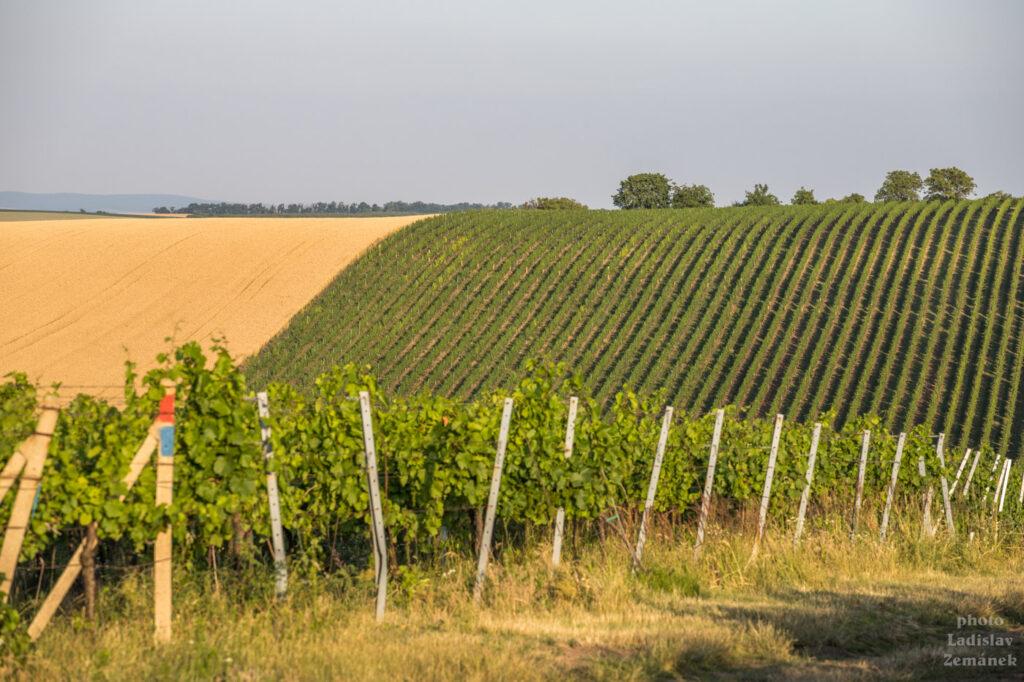 Hradištěk - vinice