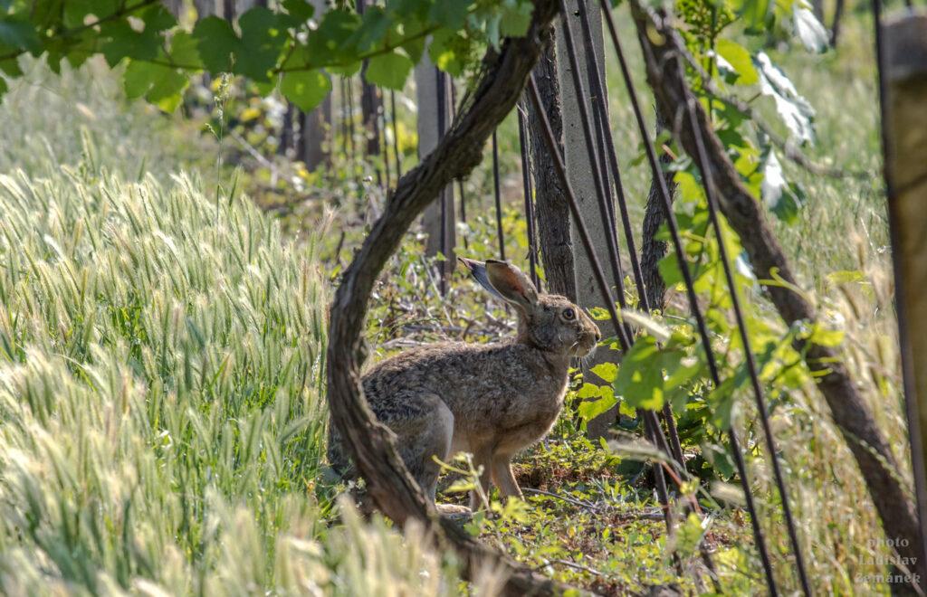 Zajíc ve vinohradu