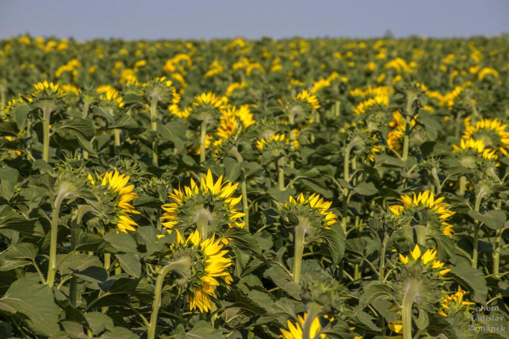 Šardice a okolí - slunečnicové pole
