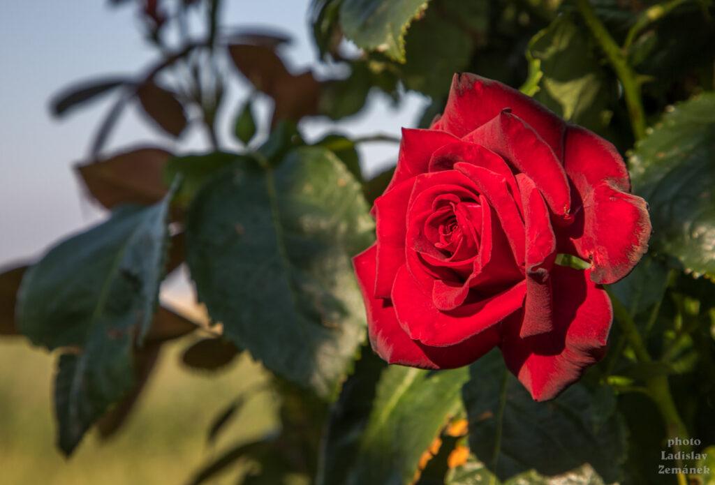 rudá růže u vinic nad Šardicemi