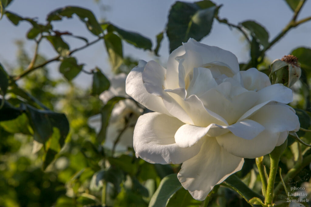 růže u vinic nad Šardicemi