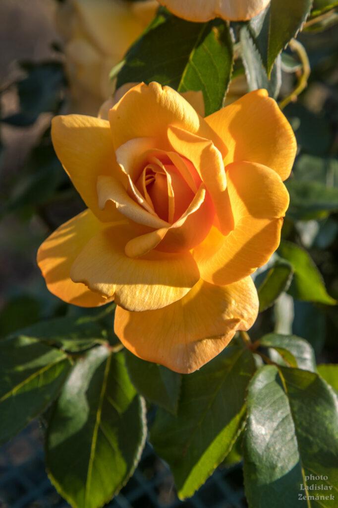 žlutá růže u vinic nad Šardicemi