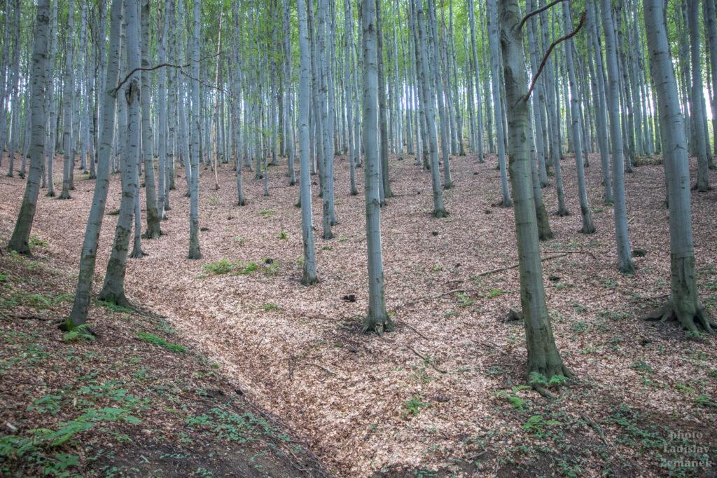 podvečerní les