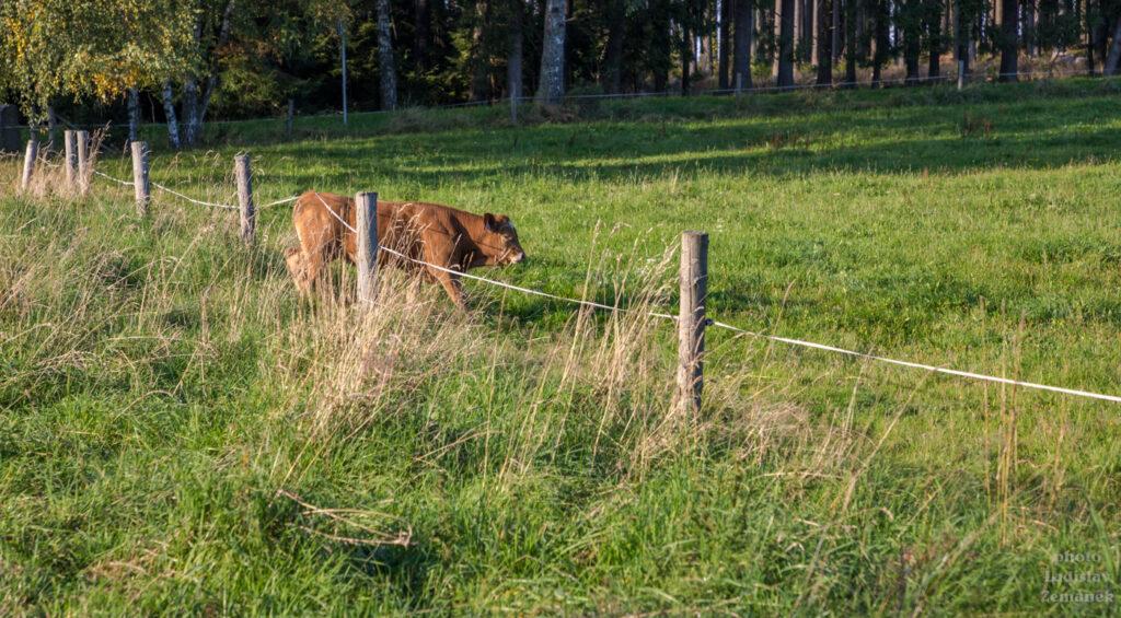 Kráva podlézá ohradník